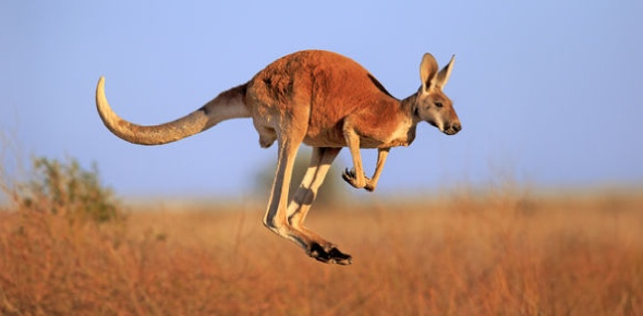 Are all kangaroos vegetarian?