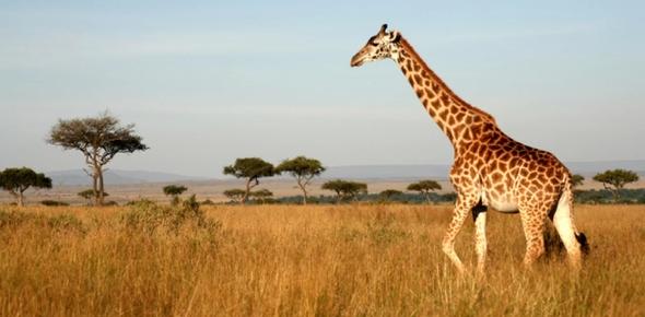 How did giraffes evolve?