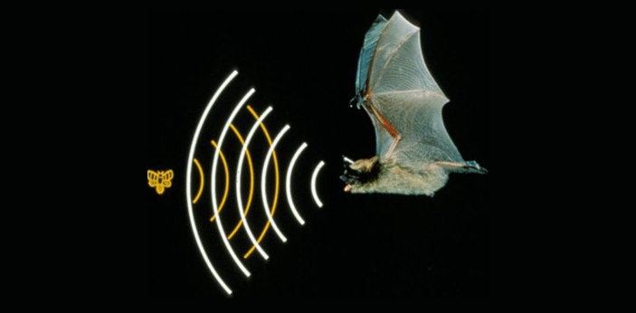 The system of echolocation is vital in species such as bats and whales. Echolocation is a means of