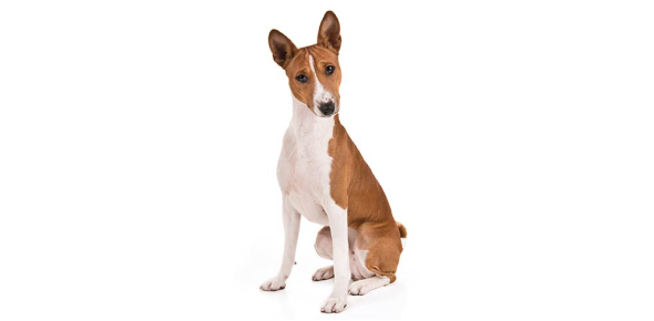 What sound does a Basenji make?