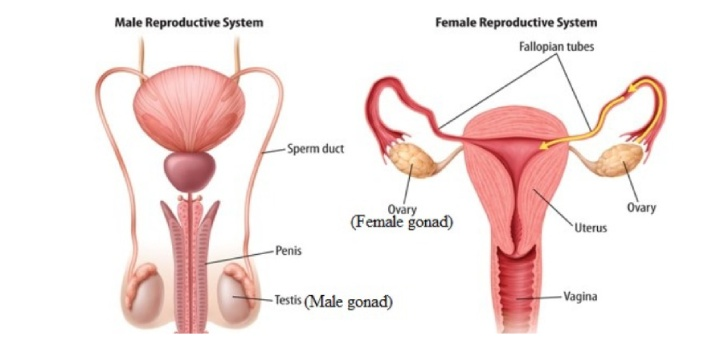 Gonads are the primary reproductive organs that produce the gametes. A pair of testes produce