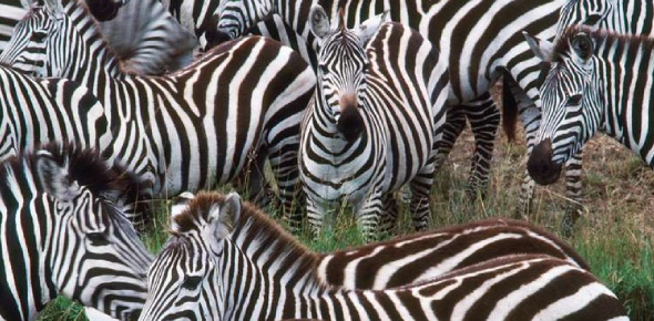 There are 3 species of zebras. The largest is the Grevy's zebra, it weighs 770 to 990 lbs.