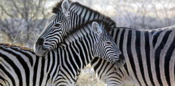 Zebras seem to be easy targets and in a sense they are. They are striped for easy spotting and they