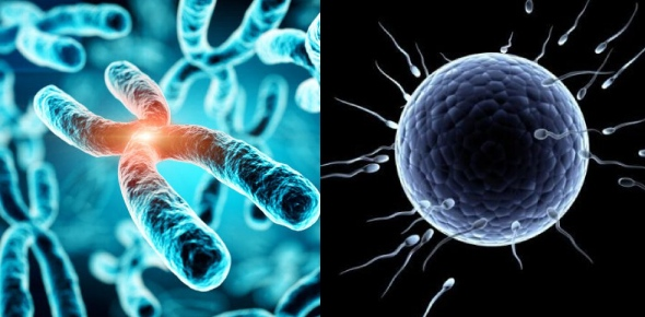 How many chromosomes are there in a fertilized egg?<br/>