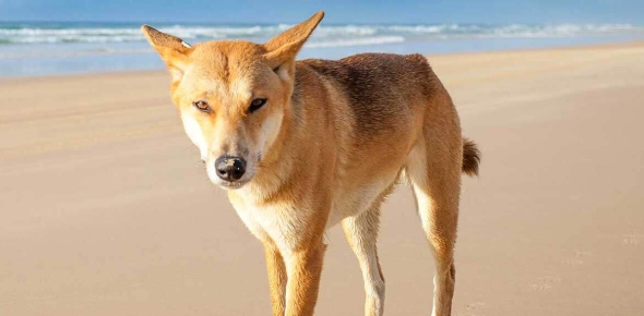 What is the difference between a dog and a dingo?
