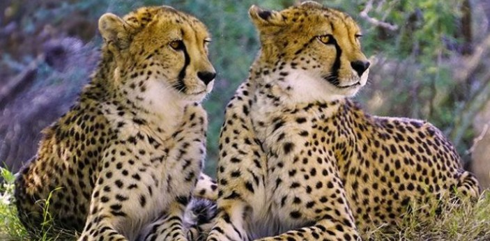 Cheetah is considered to be the fastest land animal. This animal will have the ability to run up to