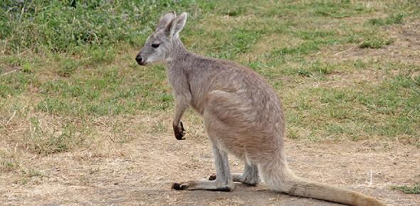 Do wallabies and kangaroos belong to the same family?