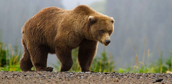 How many species of bears are there in the world?