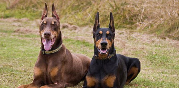There is no difference between the Doberman and the Doberman Pinscher, as they are both the same