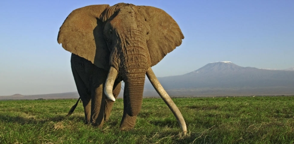 Are Elephants' tusks present only for intimidation?