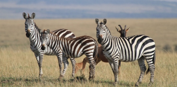 Zebras are easy prey. They are herbivores so they eat only plants. They are not looking for other