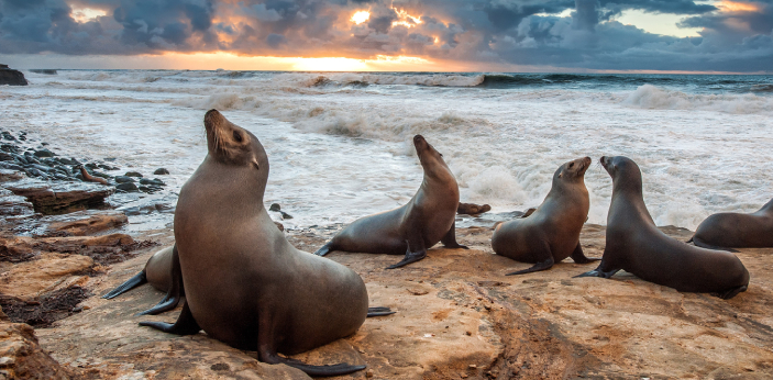 Although differentiating between sea lions and walrus can be very easy; however, both have similar