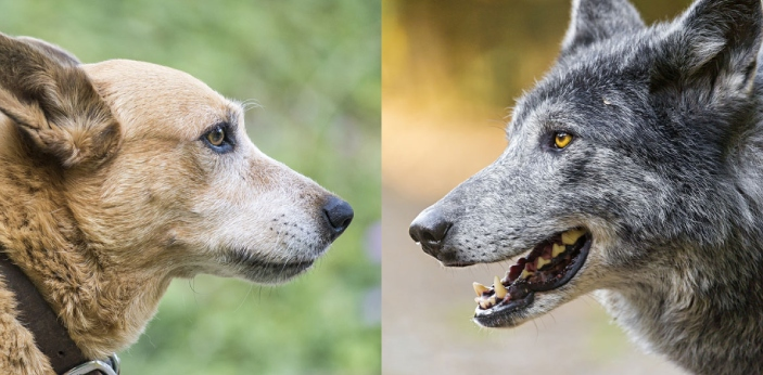 There are a lot of differences between dog and wolf. You may think that they look alike physically