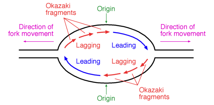 There are some people who are familiar with Ozakaki Fragments and Lagging Strand because these are