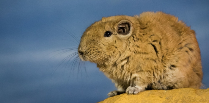 The gundi is a mammal. More specifically, it's a kind of rodent that is found more or less
