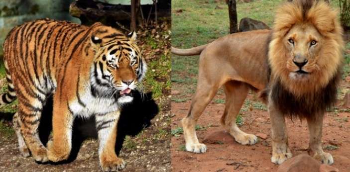 One of the most apparent distinctions between lions and tigers is their coat. The lion is tan, with