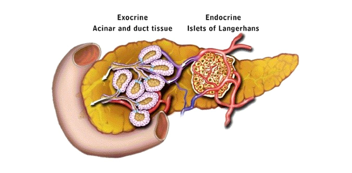 Exocrine and endocrine glands both have important functions in the body. Endocrine glands are