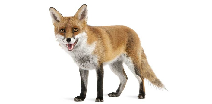 Foxes and wolves belong to the same Canidae family but are very different from each other.