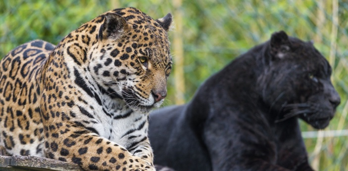 Panthers and Jaguars are both large cats, that eat the same meats. The word panther can be used to