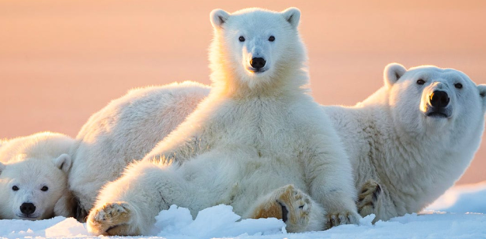 The correct answer is Polar Bears. Of all the animals listed in the question above, Polar Bears are