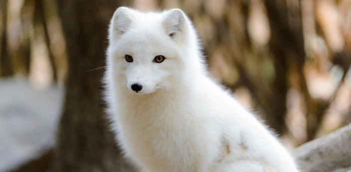 Arctic foxes are the fluffiest animals. Arctic foxes are often compared to red foxes. These cute