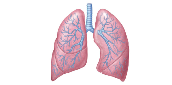 Why is the right lung larger than the left lung?