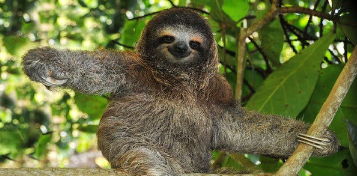 Sloth is a herbivorous, arboreal South American mammal of the families Megalonychidae and