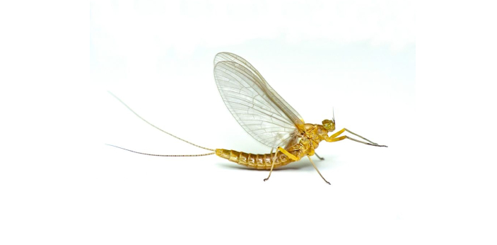 The animal with the shortest lifespan in the world is the Mayfly. There are some animals that are