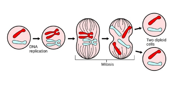 What are some of the main reasons for Nondisjunction in mitosis?