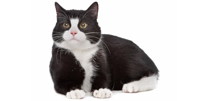 Cats are the adult version of the small, furry, domesticated animals, which are considered to be