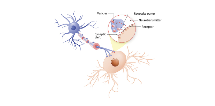 Neurotransmitters are designated as the body's biological messengers. They are the molecules