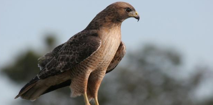 A baby hawk is an eyas. A falcon chick, especially one reared for falconry, still in its downy