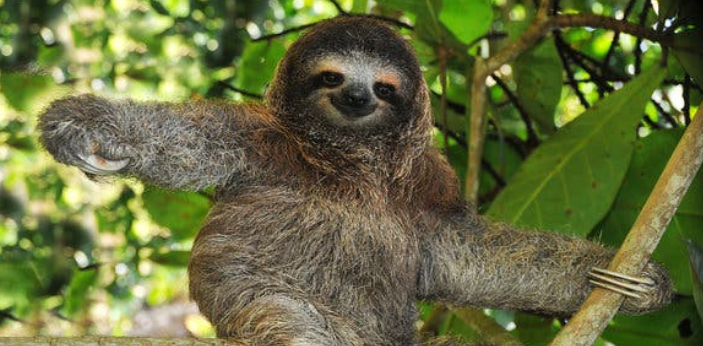 Sloth.  The slowest animal in the world is the Sloth. This animal is so slow to the point that it