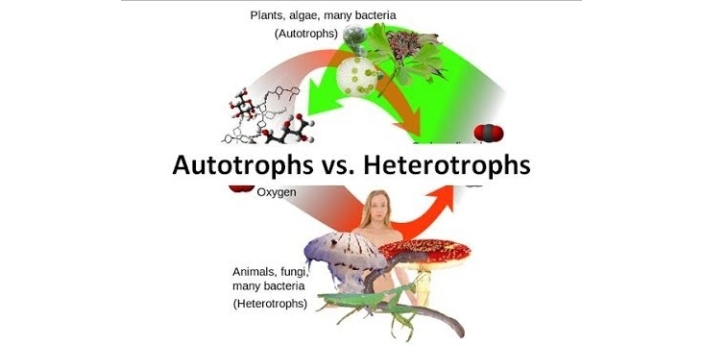 Autotrophs are plants that make their food for nourishment. The raw nutrients and minerals that are