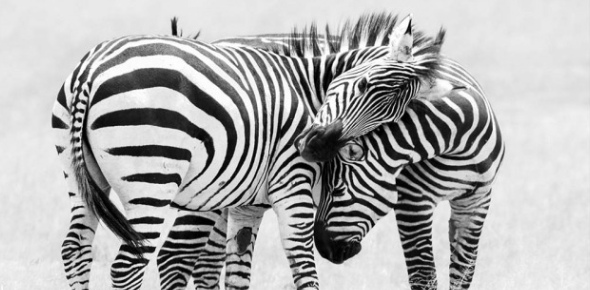 Unfortunately, a quagga does not exist anymore. The quagga was a type of zebra that is now extinct.