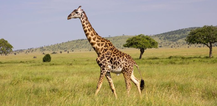 Giraffes are the tallest living animals on the earth, measuring up to 18 feet tall with their neck