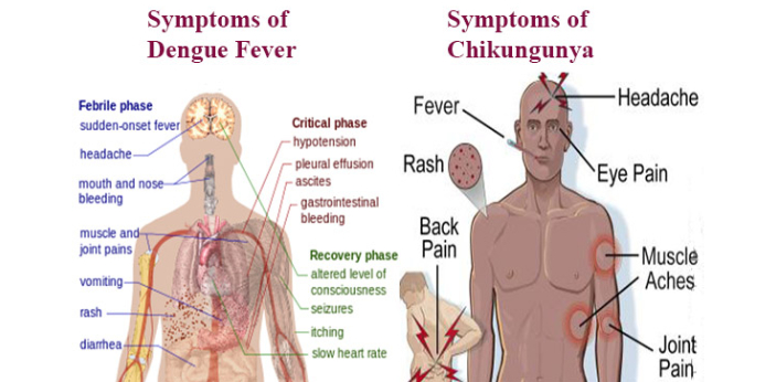 Chikungunya and dengue are both viral diseases spread by mosquitoes. Although both diseases are