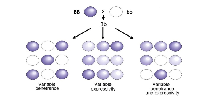 Penetrance and expressivity both have to do with genetics in science. They are used when analyzing