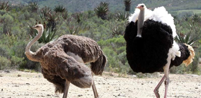 Ostriches are large flightless birds, and they are not endangered. The ostrich farmers in South