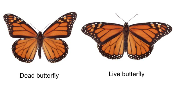 There are a lot of people who think that the Monarch butterfly and the Viceroy are the same, but