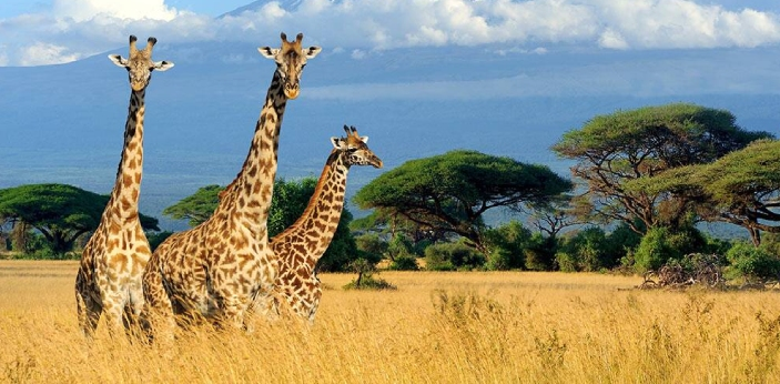 The giraffe possesses the most extended neck of any living mammal. Giraffes grow to just about