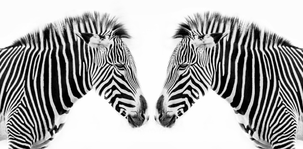 No Zebras are not faster than horses. A horse can achieve an average speed of 50 miles per hour,