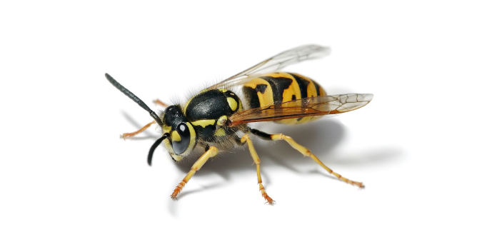 """Yellowjackets belong to the genera known as """"wasps"""" but they are often confused and"""