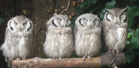 Why do owls sleep during the day?