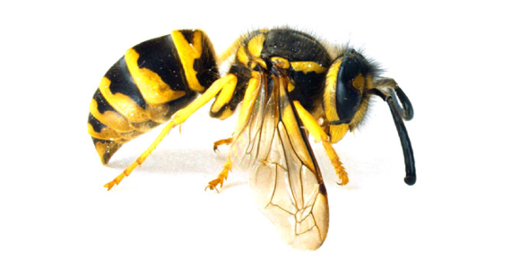 Between the two, the yellow jackets are known to be more aggressive as compared to honey bees.