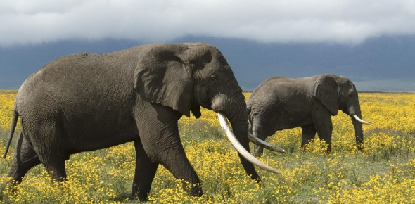 The African Elephant is said to be one of the most respected of all animals of the African wilds.