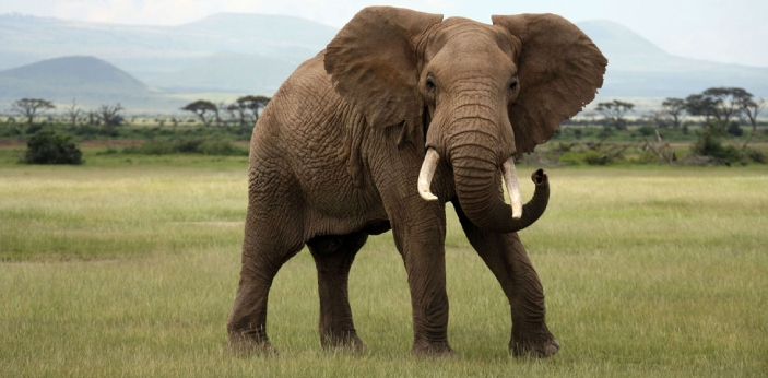 An elephant spends between twelve and eighteen hours a day eating. It varies from species to