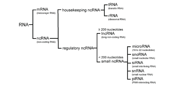 The two types of major RNAs are the messenger RNA (mRNA) and transfer RNA (tRNA). They are the