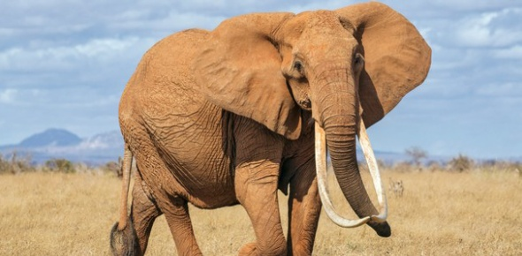 African elephants are listed as being threatened under the American Endangered Species Act.
