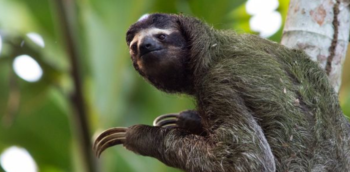 Sloths are known to be the slowest animals in the world. They are very cute even when they are